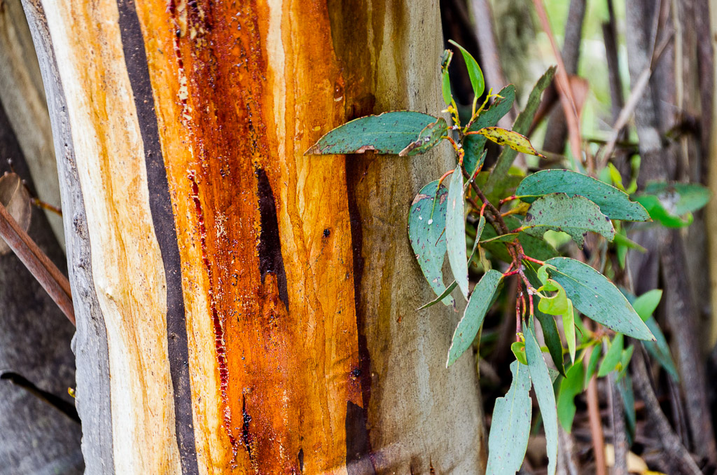 sap-on-eucalyptus-tree