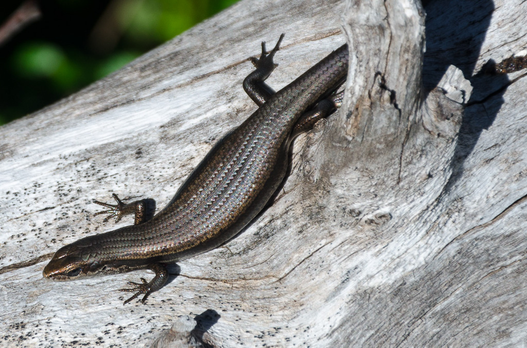 skink-lying-on-tree-branch