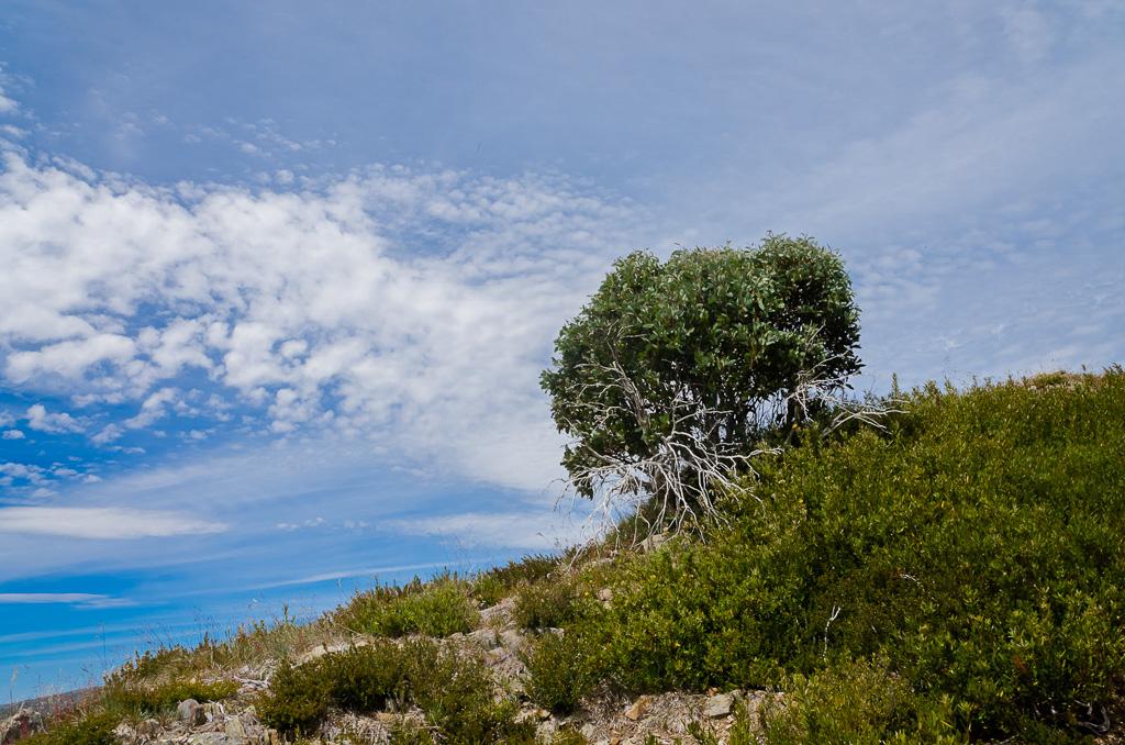 tree-on-razorback-spur