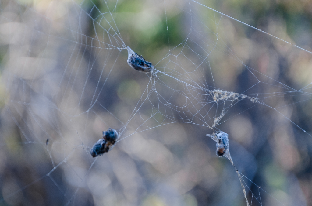 march-flies-in-spider-web