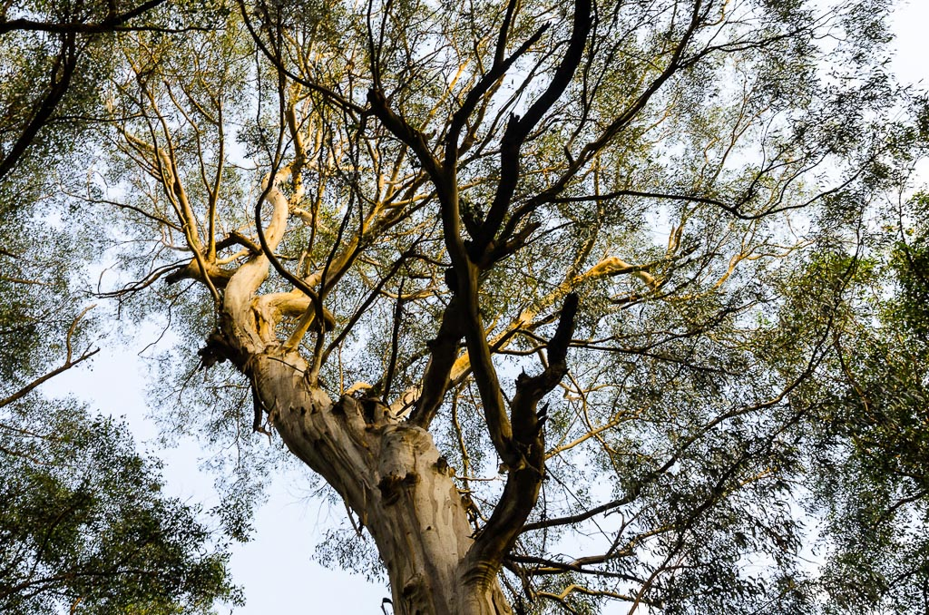 eucalypt-on-dandenong-creek-track