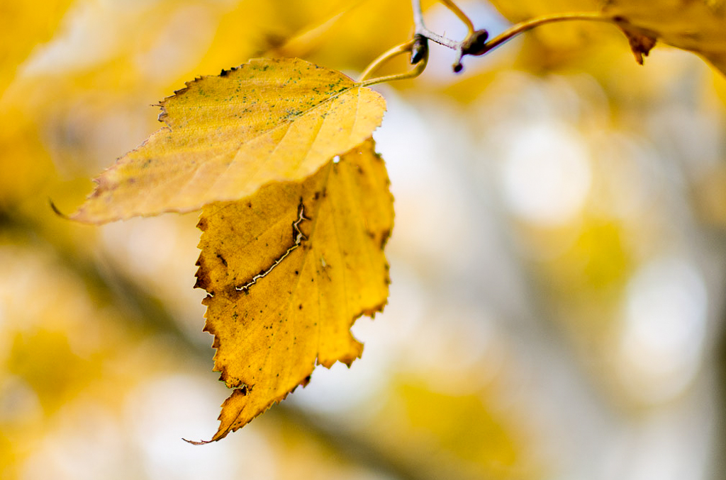 leaves-on-silver-birch-trees