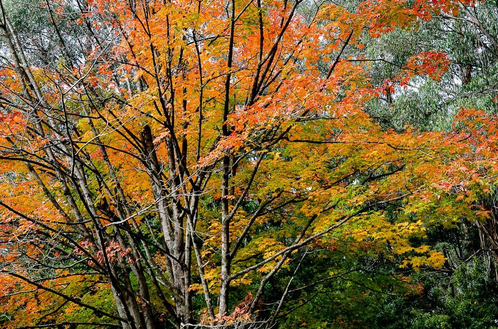 oak-trees-mt-dandenong-arboretum