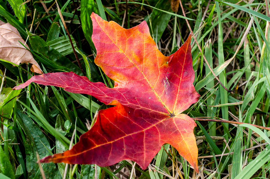 red-leaf-on-ground