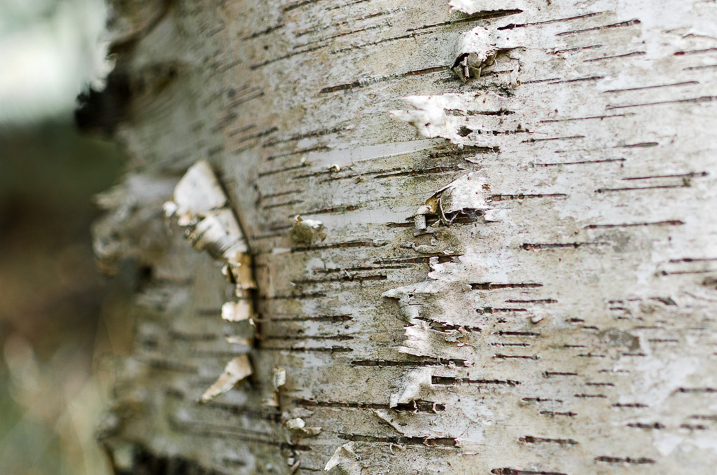 silver-birch-tree-trunk-dandenong-ranges