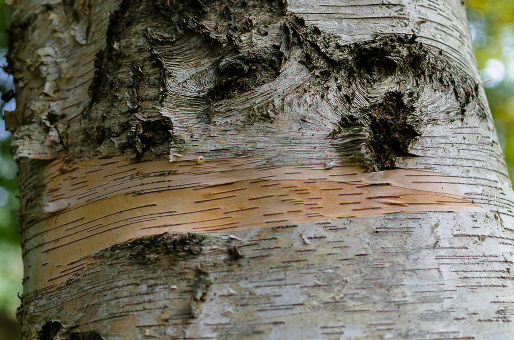 silver-birch-tree-trunk