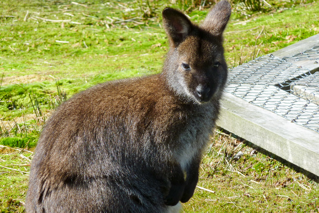 wallaby-overland-track