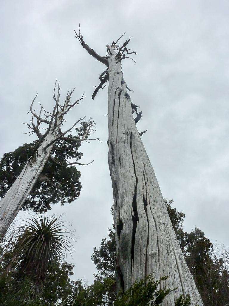 large-bare-tree-overland-track-tasmania