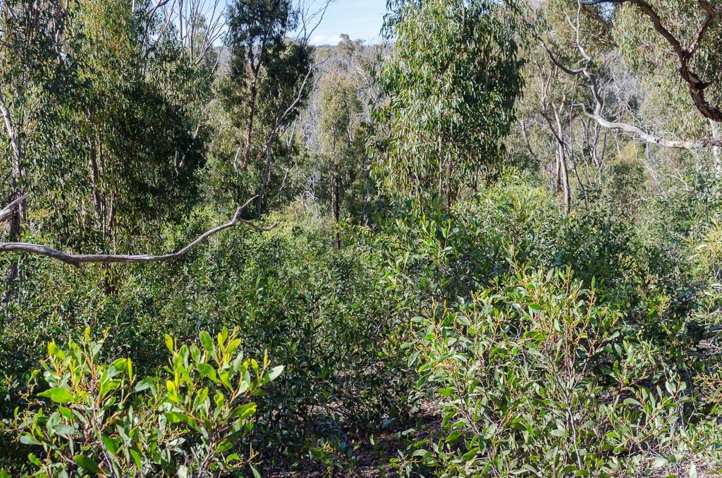 bush-regrowth-steiglitz