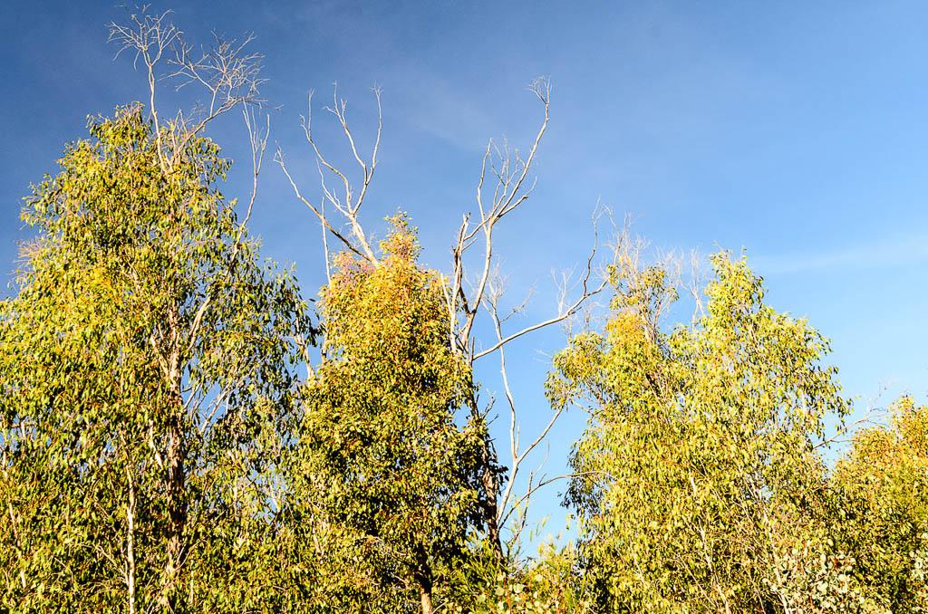 eucalypts-steiglitz-historic-park
