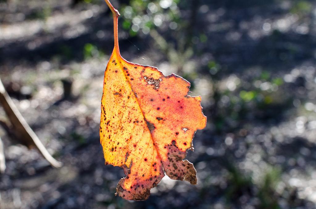 eucalyptus-leaf-steiglitz-historic-park