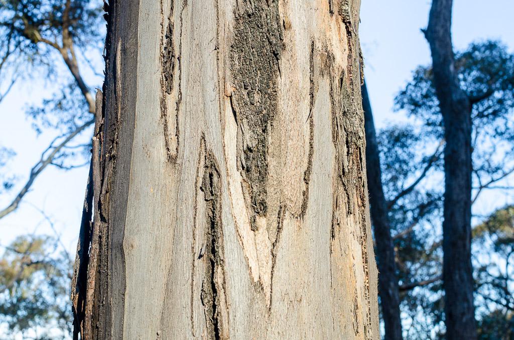 eucalyptus-steiglitz-historic