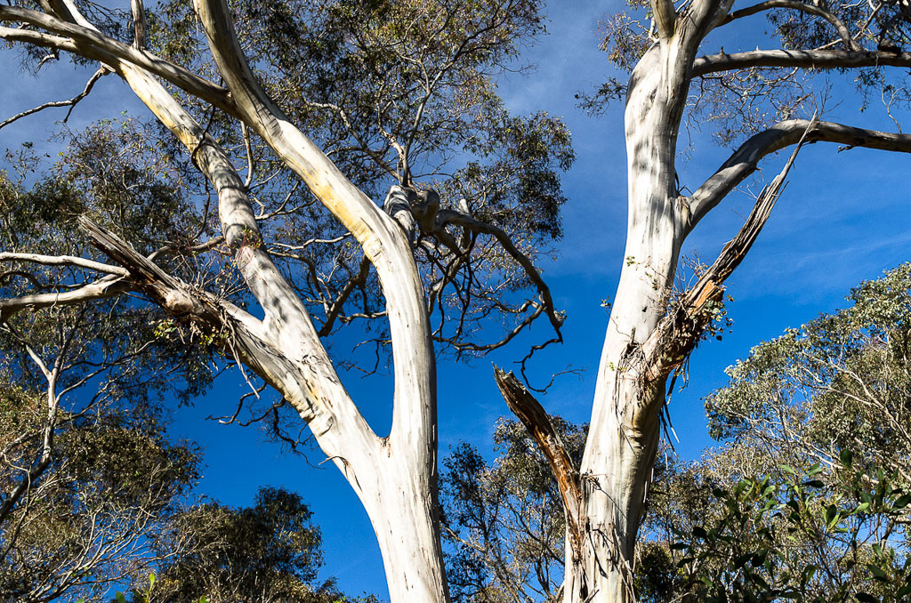 eucalyptus-trees-at-steiglitz-historic-park