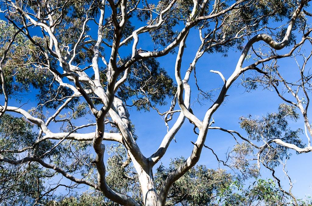 eucalyptus-trees-at-steiglitz
