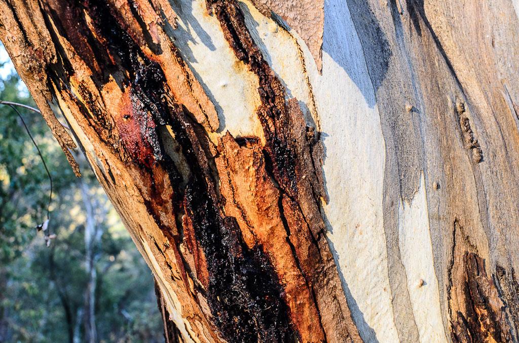eucalyptus-with-sap-steiglitz-historic-park
