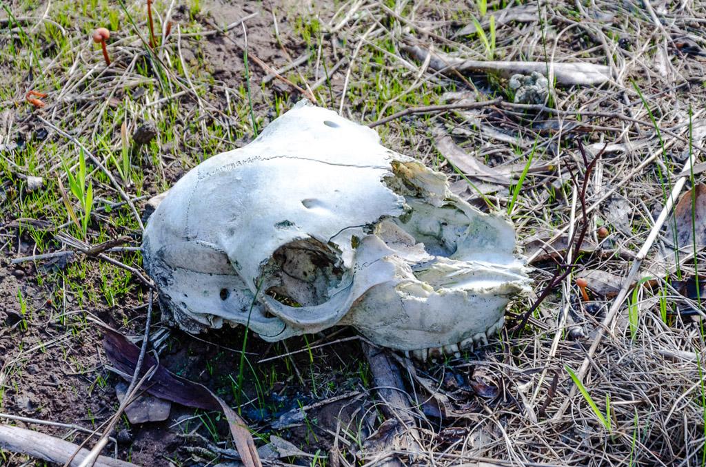 animal-skull