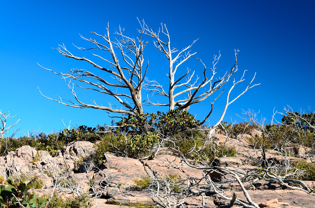 bare-tree-on-major-mitchell-plateau