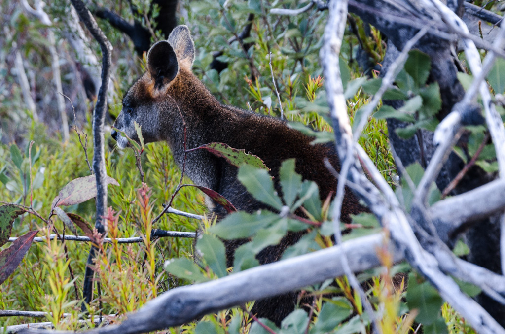 wallaby-on-banksia-hill
