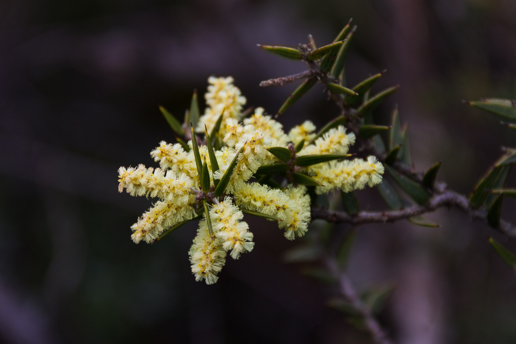 wattle-flower-mount-abrupt