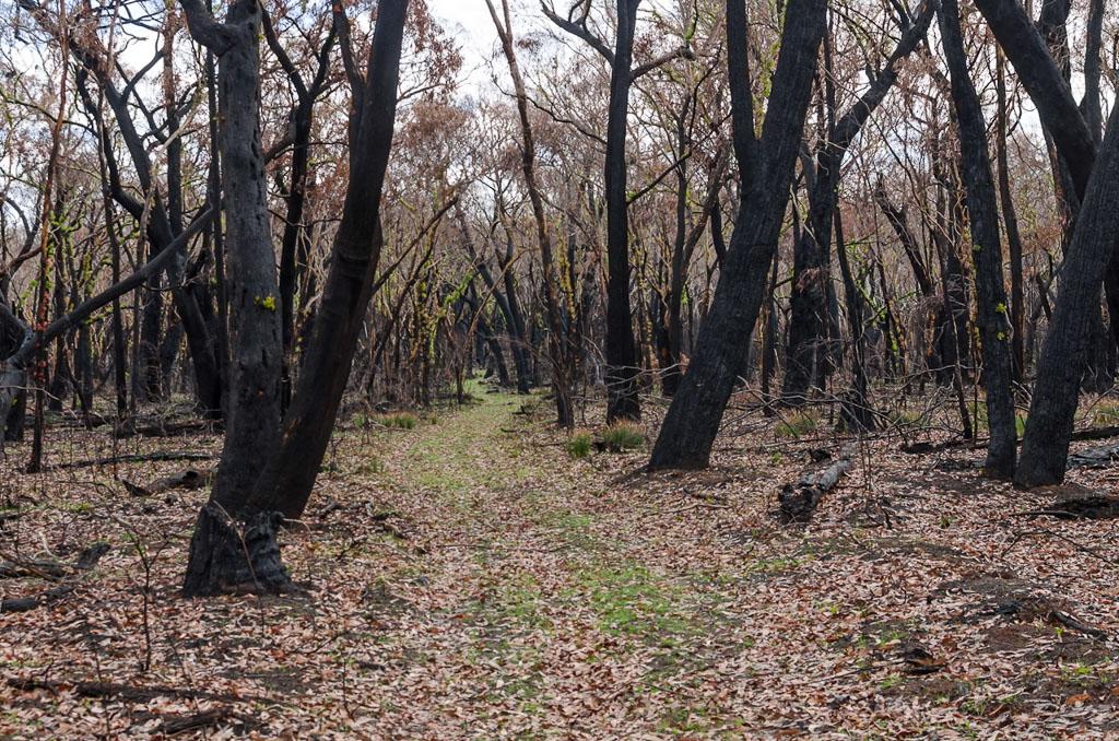 burnt-trees-cobboboonee-forest