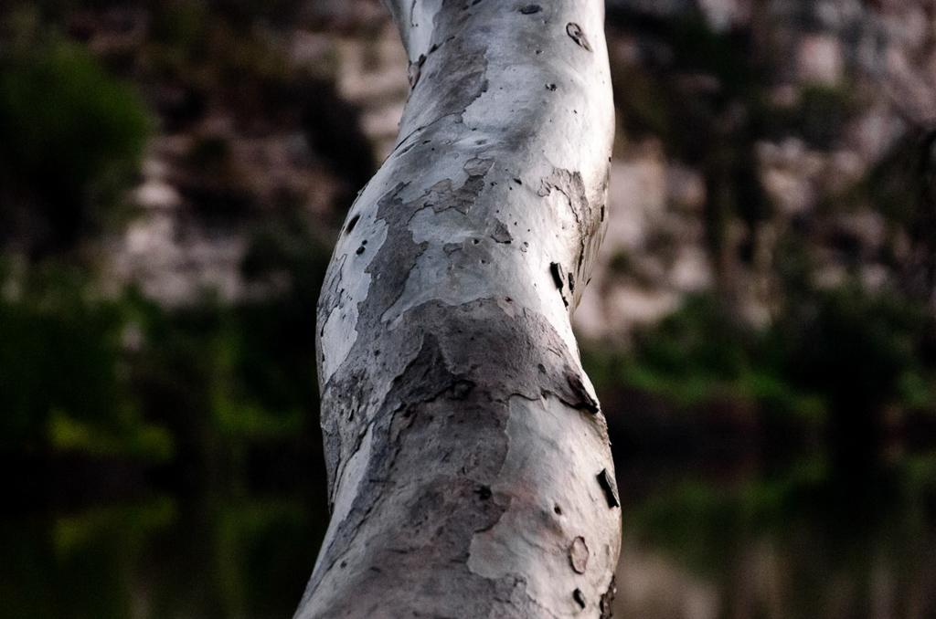 eucalypt-branch
