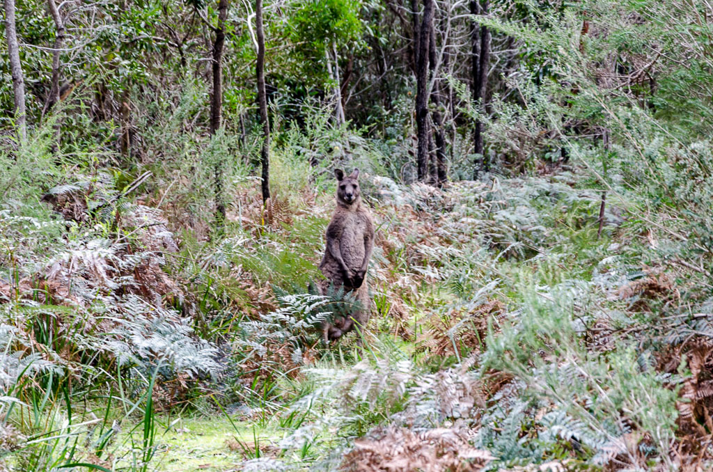 wallaby-on-walking-track