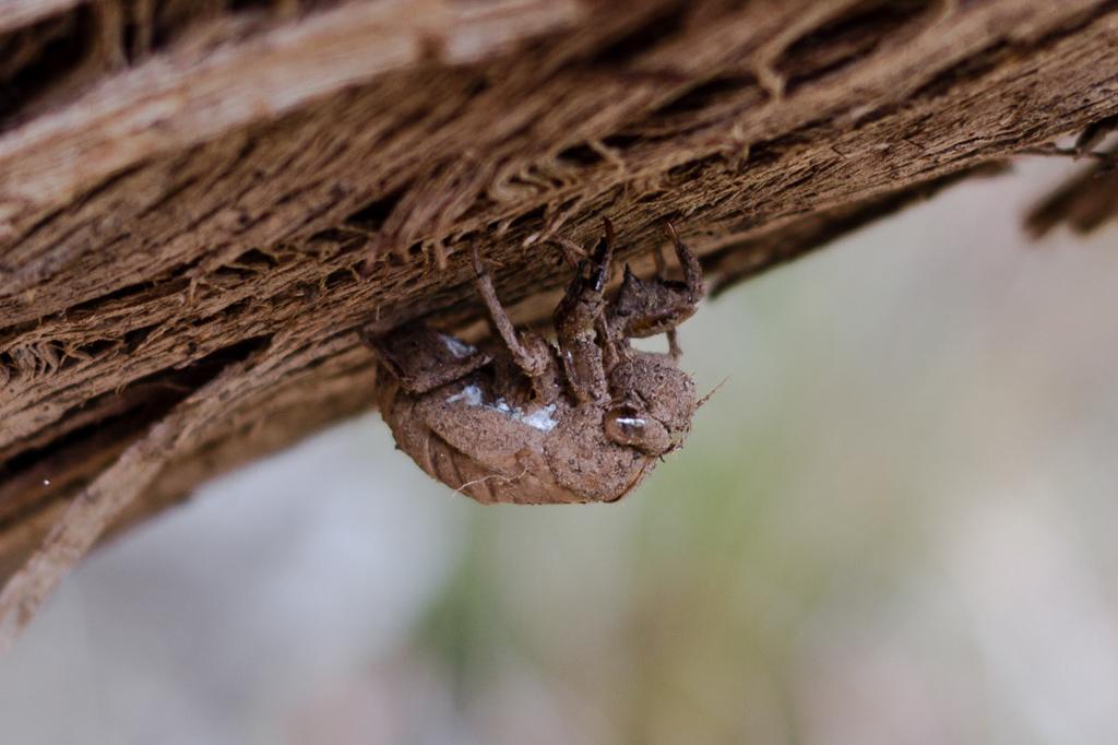 cicada-on-branch