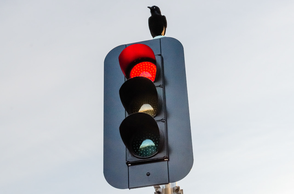 crow-on-traffic-light