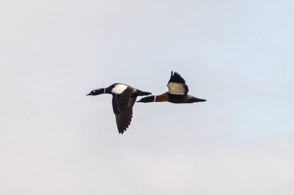 australian-shelducks-flying
