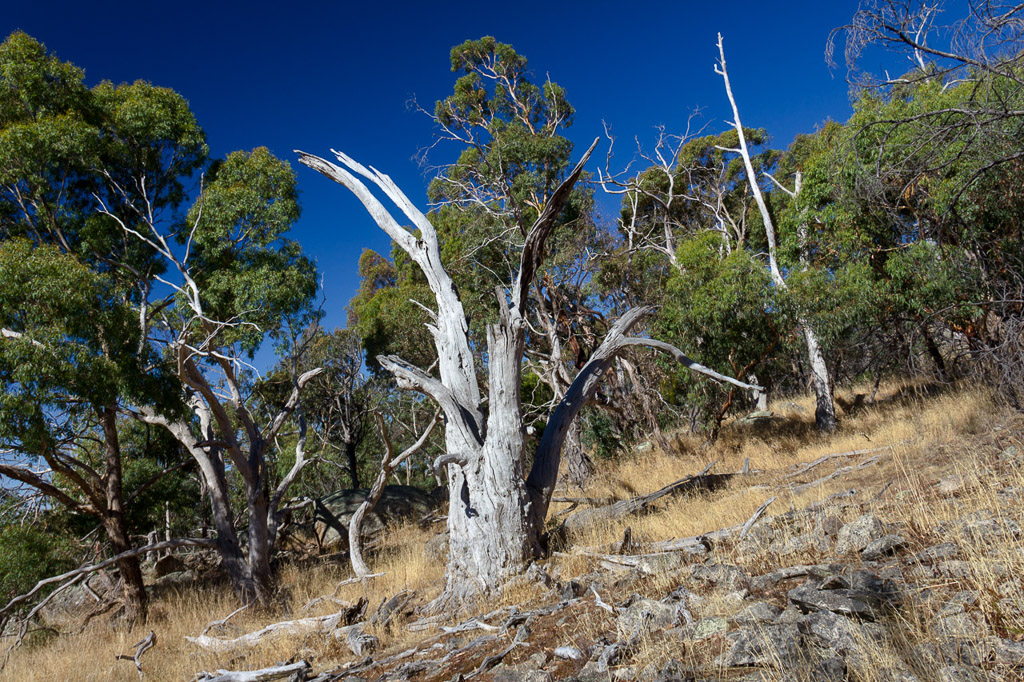 dead-eucalypt-yellow-box-track-mount-beckworth