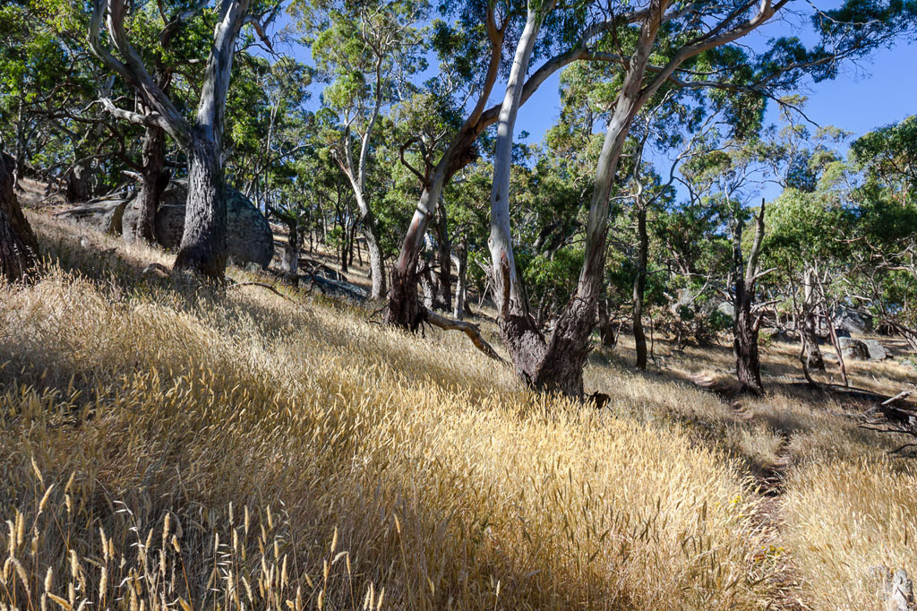 eucalypt-manna-gum-track-mount-beckworth
