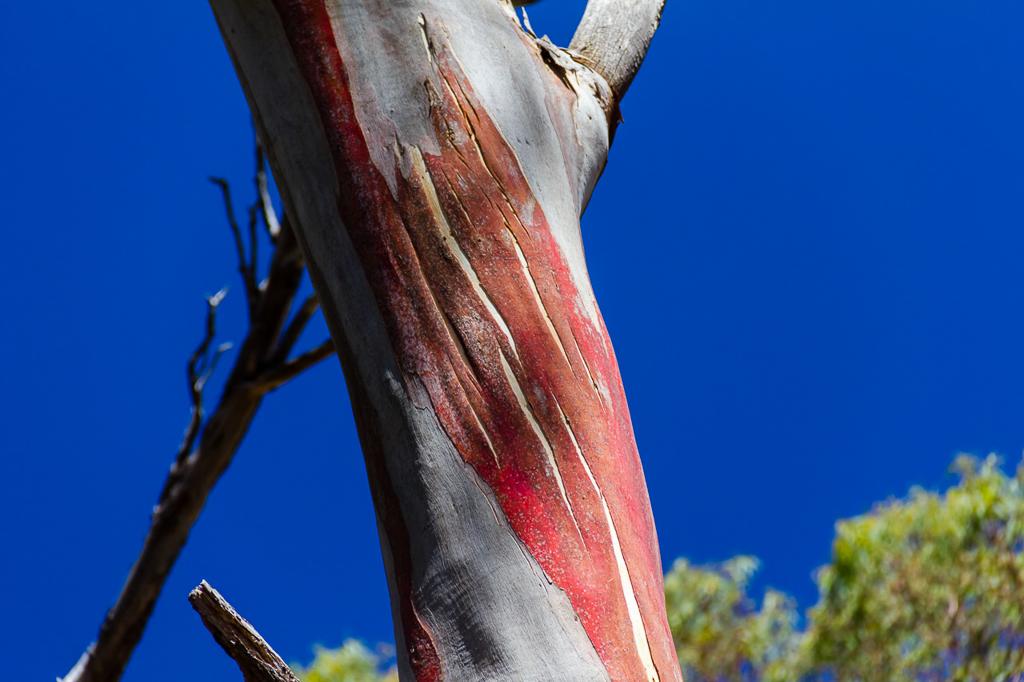 eucalypt-red-bark