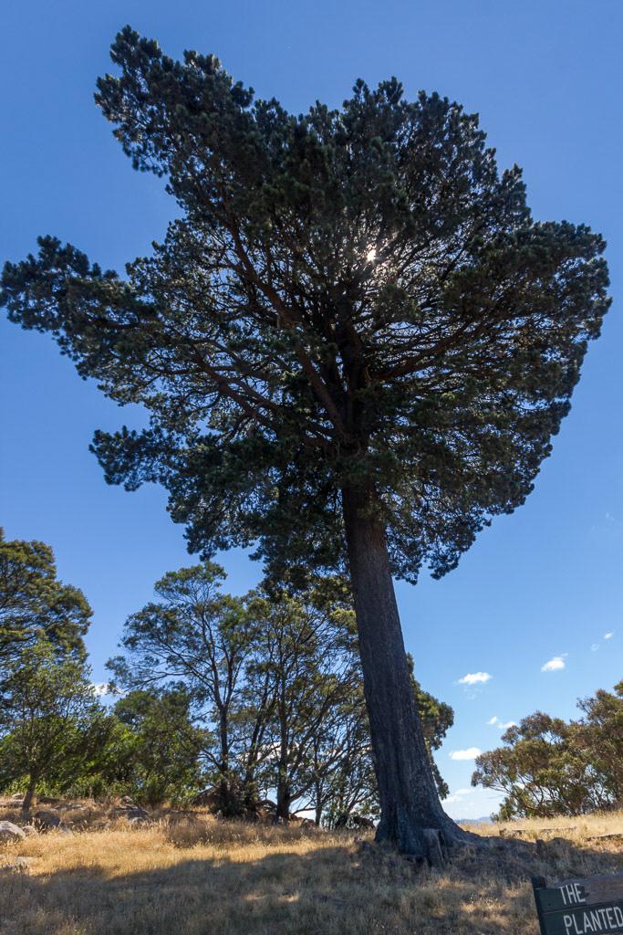 lollipop-tree-mount-beckworth