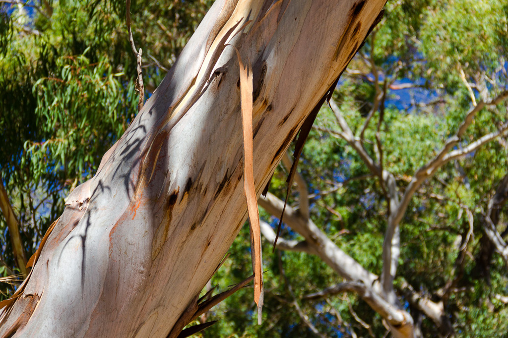 peeling-bark-eucalypt-tree-mount-beckworth