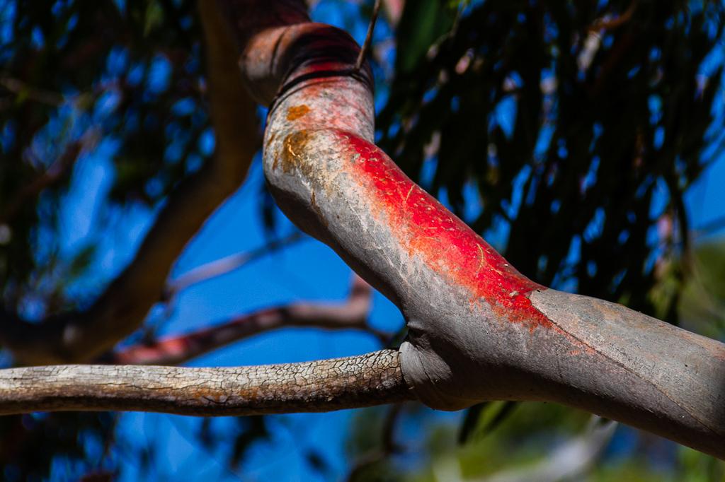 red-bark-eucalypt-tree