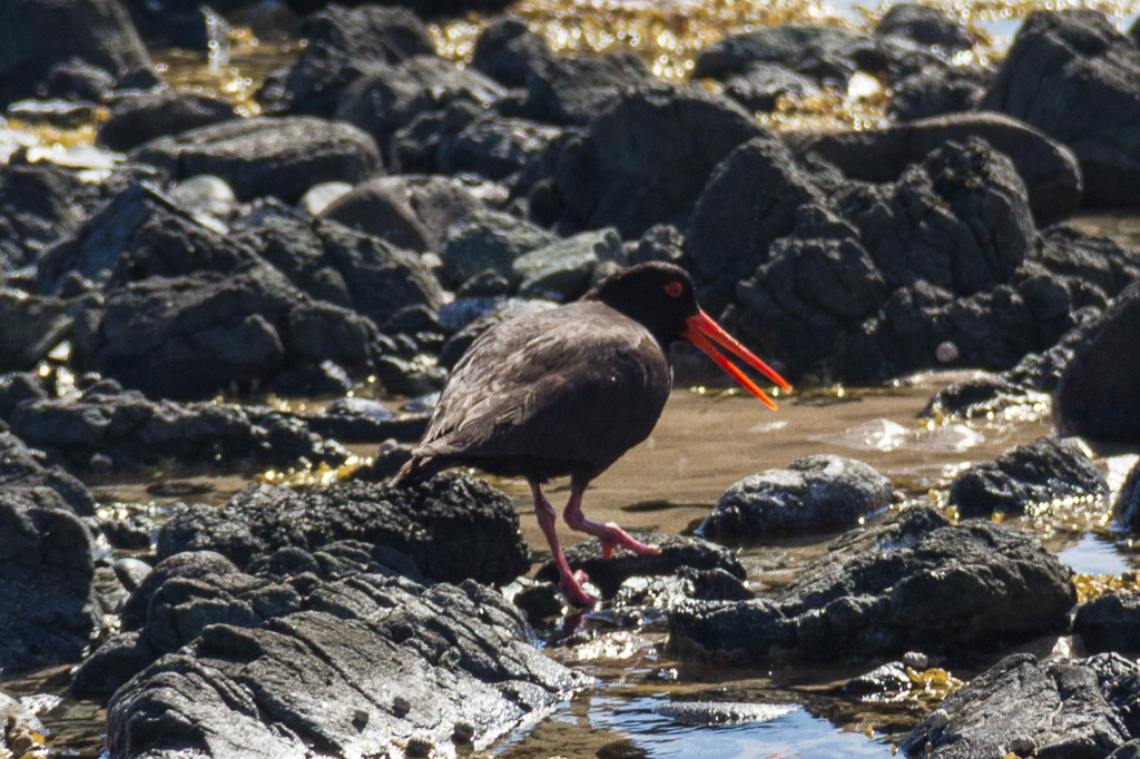 sooty-oyster-catcher