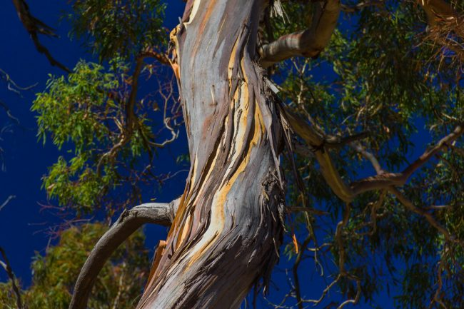 twisted-eucalypt-tree-mount-beckworth