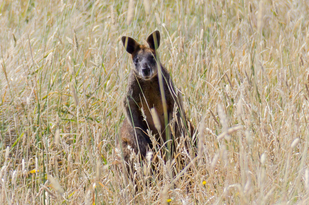 wallaby-in-long-grass