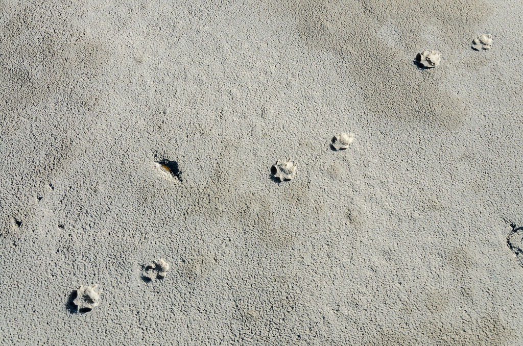 cat-paw-prints-discovery-bay-beach