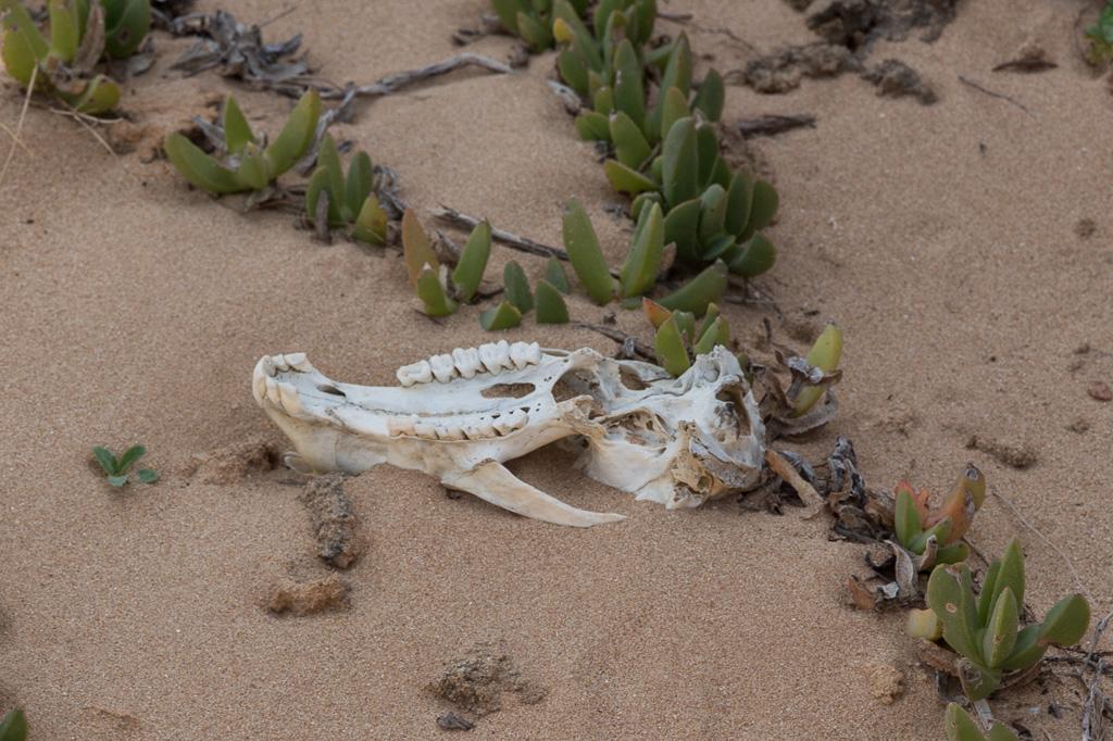 animal-jawbone