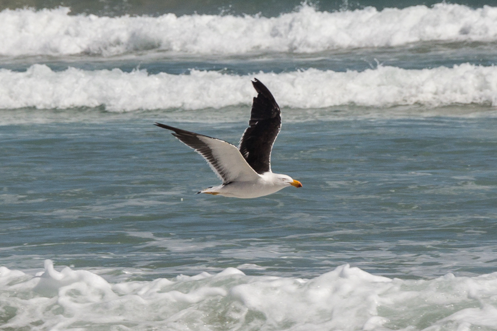 pacific-gull-flying