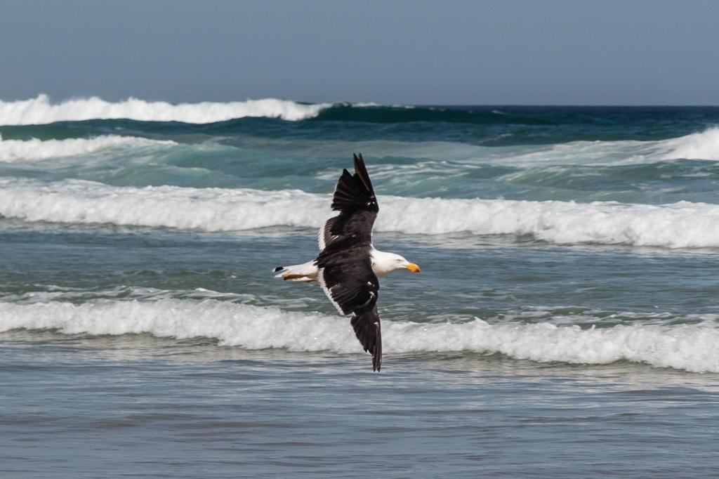 pacific-gull