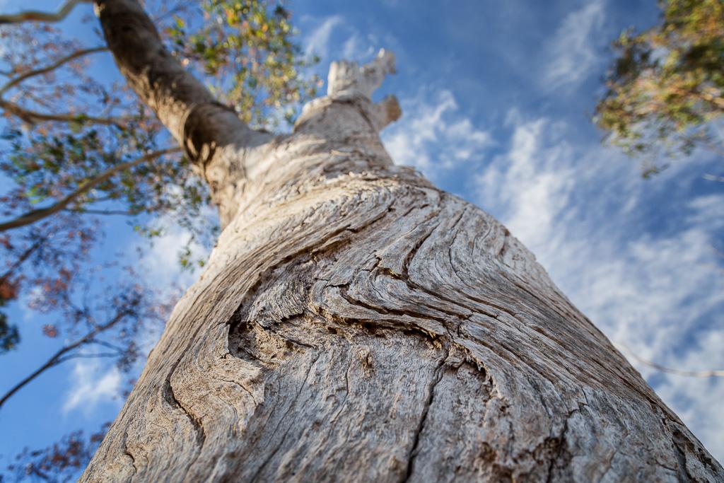 curved-bark-eucalyptus-tree