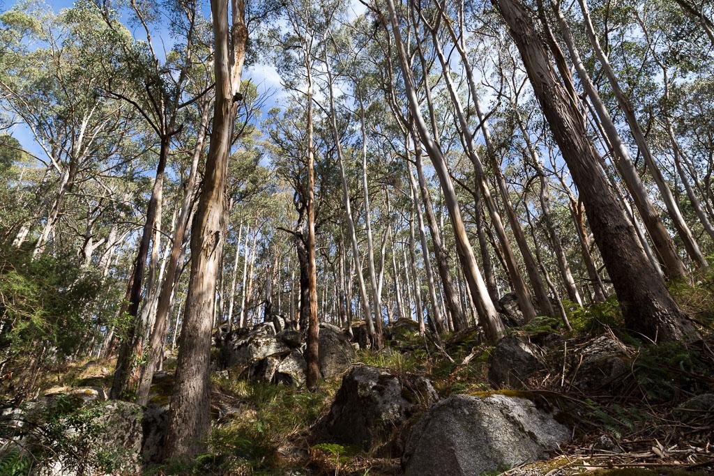 eucalypt-trees-beeripmo-walk