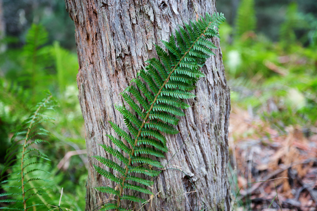 fern-leaf-against-eucalypt-tree