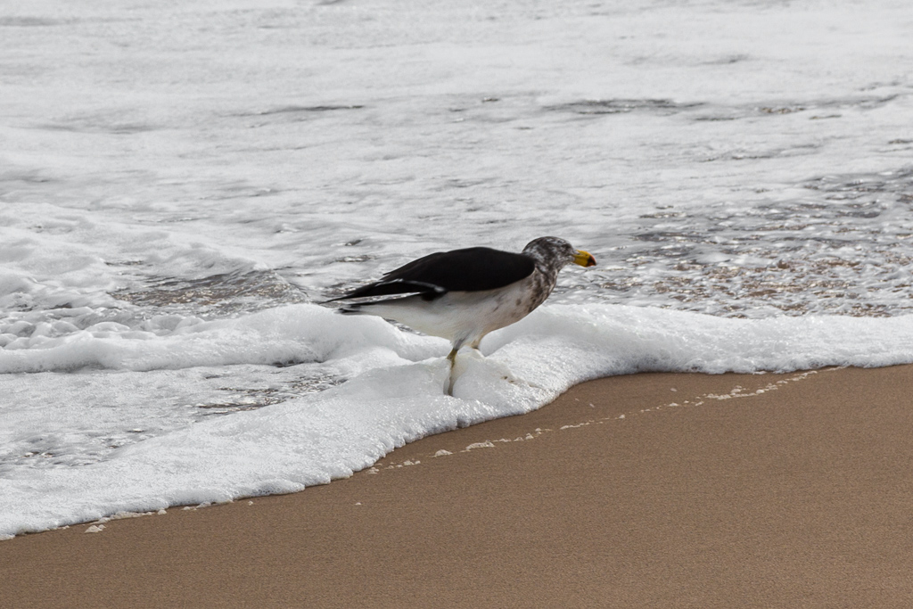 juvenile-pacific-gull-cape-woolamai-beach