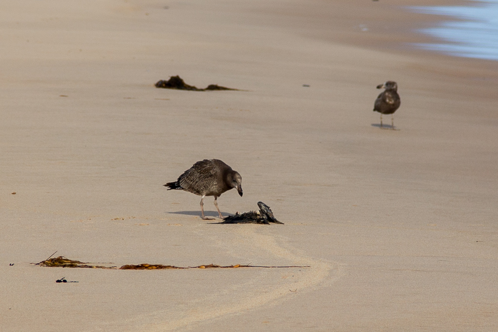 juvenile-pacific-gull-eating-dead-bird