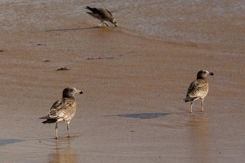 juvenile-pacific-gull-phillip-island