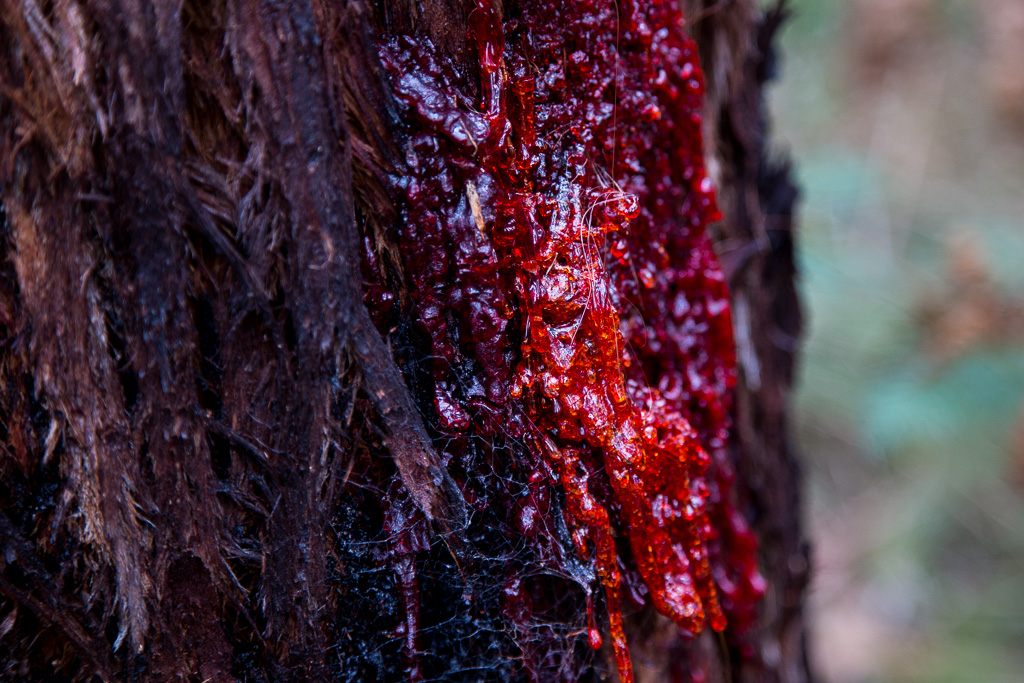 red-sap-eucalypt-tree