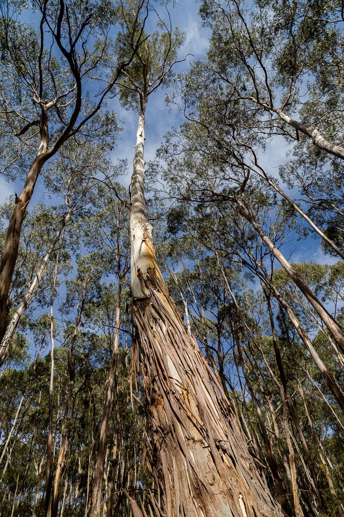 tall-eucalypt